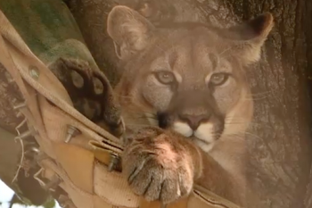 Felidae Conservation Fund Video